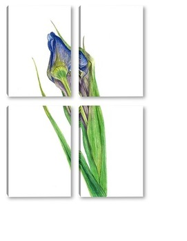 Модульная картина Ботаническая иллюстрация. Ирис.