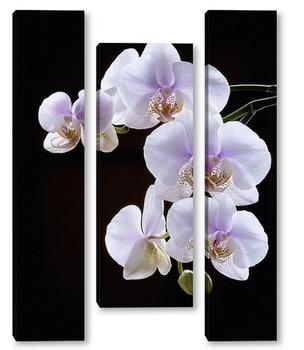 Модульная картина Орхидея фаленопсис Утренняя Заря на черном фоне
