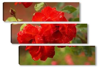 Алые розы в росе