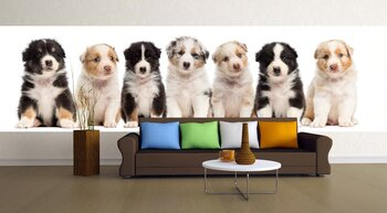 Фотообои Front view of Australian Shepherd puppies, 6 weeks old